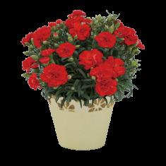 【送料無料】カーネーション鉢植え(赤) 母の日ギフト