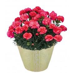 【送料無料】カーネーション鉢植え(ピンク) 母の日ギフト